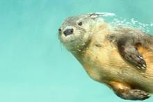 Marine Otter (Lontra Felina), A Beautiful Sea Otter Underwater In Flight, Photography Taken In Captivity. Lima - Peru