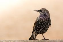 Common Starling In The Natural Environment, Close Up, Sturnus Vulgaris, England