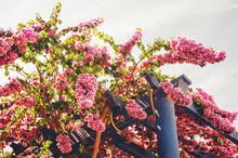Blooming Pink Bougainvillea Flowers Growing Aroung Blue Wooden Pergola