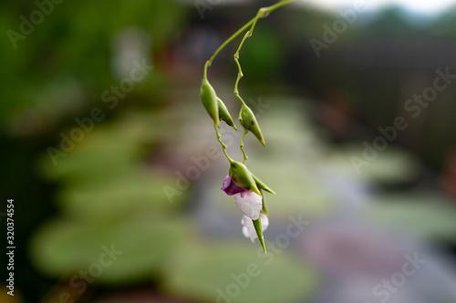 Arrowroot flower in the garden Canvas Print