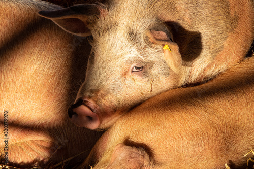 Overlapping Pigs in Sunshine and Shadow with Beady Eye Canvas Print