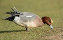 Wigeon Feeding On Grass