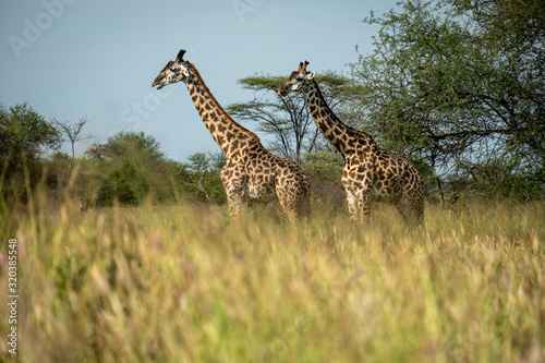Fototapety, obrazy: Giraffes standing in Tanzania Serengeti national park