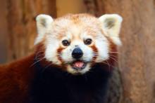 The Red Panda (Ailurus Fulgens...