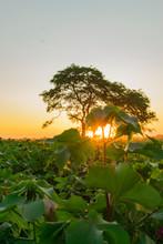Planta De Algodón Tapando El Sol, Campo De Algodón, Algodonal