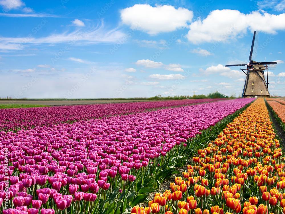 Piękny magiczny wiosenny krajobraz z polem tulipanów i wiatrakami na tle zachmurzonego nieba w Holandii - obrazy, fototapety, plakaty