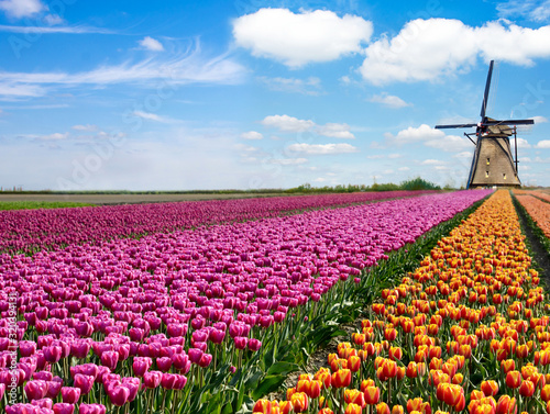 Obraz Beautiful magical spring landscape with a tulip field and windmills in the background of a cloudy sky in Holland. Charming places. - fototapety do salonu