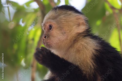 Capuchin monkey (Cebus) Canvas Print