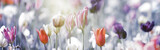 Fototapeta Tulips - tulpen rot violett grau panorama