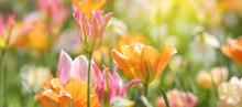 Tulpen In Roten Und Gelben Far...