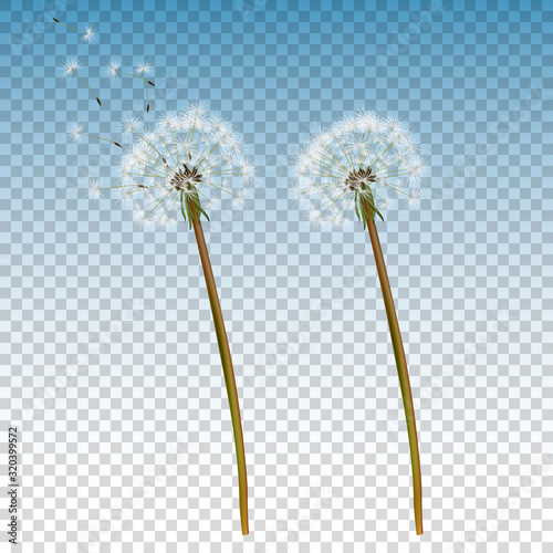 Fotografie, Obraz Vector 3d Realistic Dandelion Icon Set Closeup Isolated on Transparent Background
