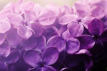 Beautiful Purple Lilac Flowers...