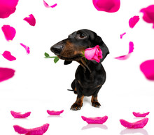 Valentines Love  Dog