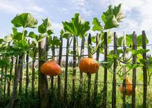 Orange Pumpkins At The Garden ...