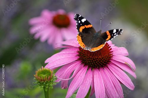 Obraz na plátně Admiral butterfly on a coneflower