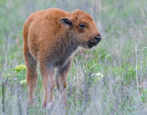Photo Bison calf in the Wichita Mountains