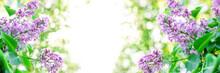 Blue Lilac Bush Flower On Blur...