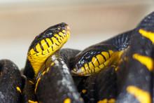 Mangrove Boiga. Two Snakes Cur...