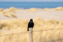 Black Bird On A Post In Front Of Fields Of Dry Grass On A Sand Dune