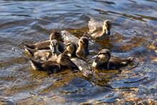 Cute Mallard Ducklings Paddlin...