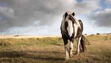 A Wild Pony Grazes On Bodmin Moor, Cornwall