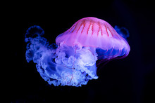 The Purple-striped Jellyfish (...