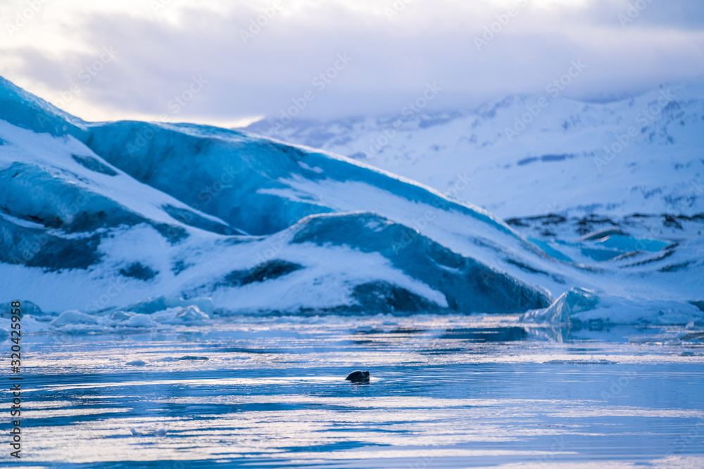 Fototapeta Amazing landscapes and huge glaciers in the Jokulsarlon Glacier Lagoon (glacial river lagoon), with a wild seal swimming in the lake in Iceland