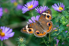 Junonia Coenia, Known As The C...