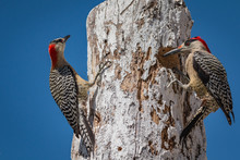 Pair Of West Indian Woodpecker...