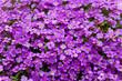 canvas print picture - Blaukissen  (Aubrieta), lila blüten staude für den Steingarten