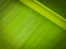 Nature Banana Leaves  Close Up...