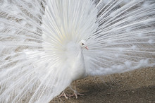 Close Up On White Peacock With Spreading Tail Feather