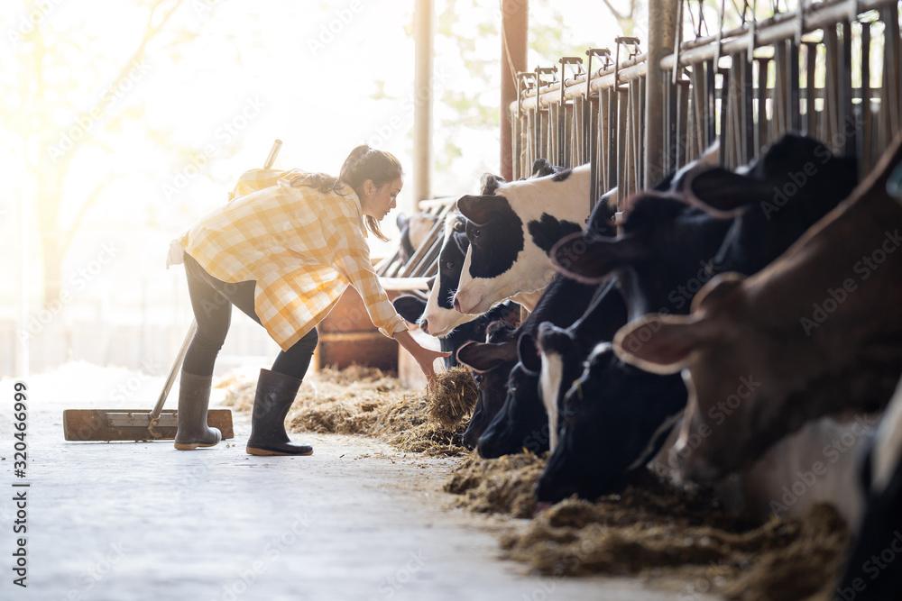 Fototapeta Farmer woman is feeding the cows. Cow eating grass