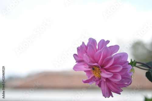 Photo Pink dahlia flower. Beautiful dahlia flowers on nature background