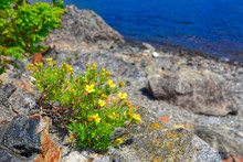 Yellow Blooms Of Shrubby Cinquefoil On The Shores Of Gander Lake, Newfoundland & Labrador, Canada.