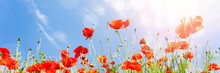 Red Poppy Flowers On Sunny Blu...
