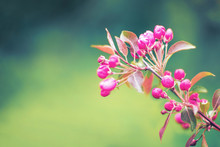 Soft Focused Bright Flowering Apple Tree Branch Covered With Lot Of Pink Flowers On Blurred Green Background With Leaves Bokeh. Bright Color Nature Spring Design For Any Purposes With Copy Space.
