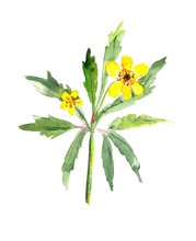 Watercolor Drawing Blooming Yellow Wood Anemone