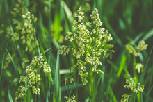 Hierochloe Is A Genus Of Plants In The Grass Family Known Generally As Sweetgrass. Sunny Day In The Garden, Shallow Depth Of The Field, Copy Space.
