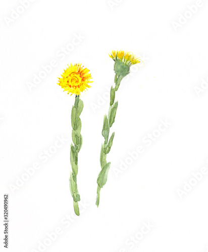 watercolor drawing yellow spring coltsfoot flowers Tapéta, Fotótapéta