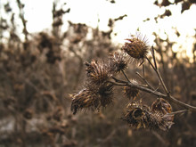 Thorns Of Thistle In Winter, C...