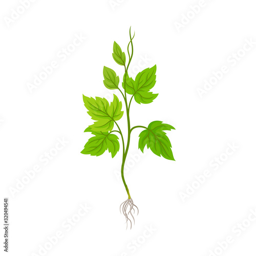 Seedling of Grape Plant with Thin Roots Isolated on White Background Vector Element