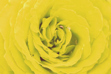 Texture Of Yellow Rose Petals ...