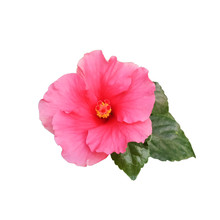 Pink Hibiscus Flowers With Lea...