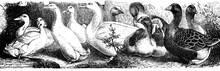 Ducks And Goose - Antique Engr...