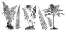 Ferns - Antique Engraved Illus...