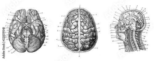Obraz Human brain - Antique engraved illustration from Brockhaus Konversations-Lexikon 1908 - fototapety do salonu