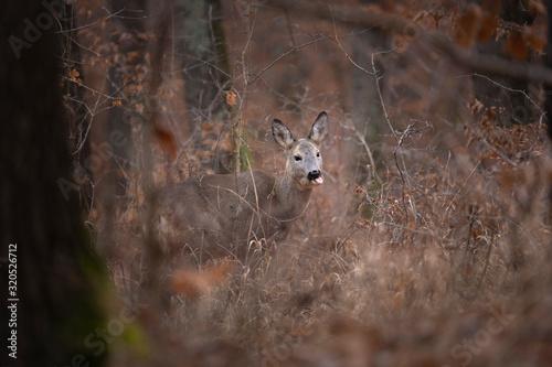 Foto Roe deer, (genus Capreolus), also called roebuck, small, graceful Eurasian deer of the family Cervidae (order Artiodactyla)