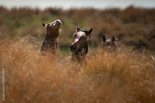 Fotografie, Tablou Kaimanawa wild horses among tall red tussock grassland