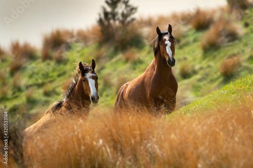 Two Kaimanawa wild horses among tall red tussock grassland Fototapet